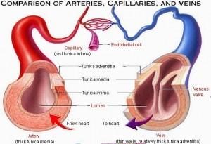 perbedaan pembuluh darah arteri dan vena